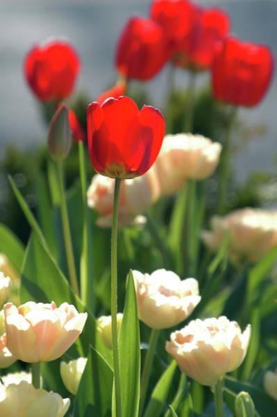 Wall Art - Photograph - Tulips by Alynne Landers