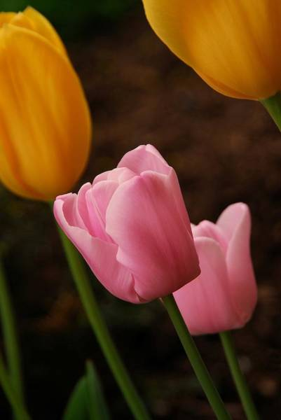 Photograph - Tulips by Angie Tirado