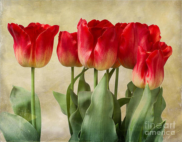 Photograph - Tulips by Ann Jacobson