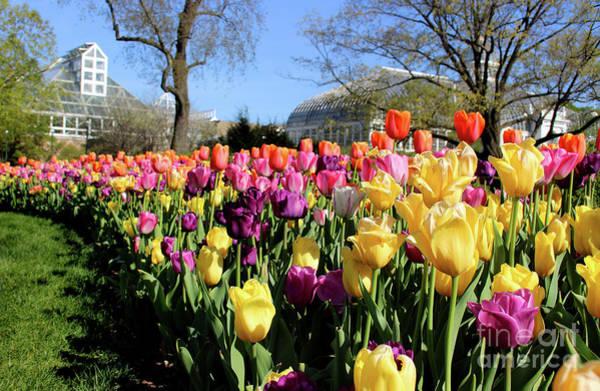 Photograph - Tulips At Franklin Park by Karen Adams