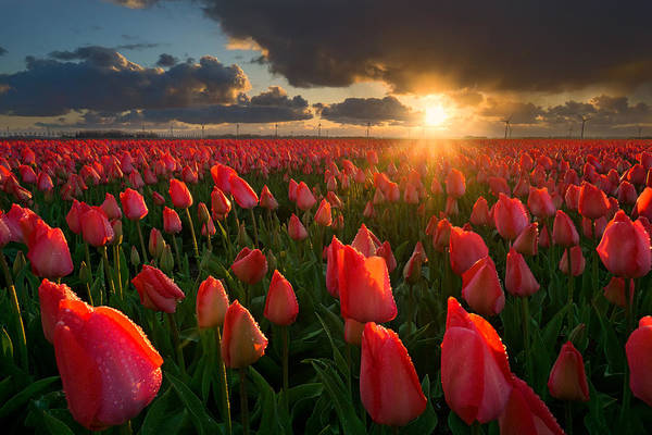 Dutch Tulip Photograph - Tulips At Sunset by Martin Podt