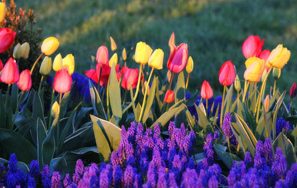 Photograph - Tulips At Sunset by Trina Ansel