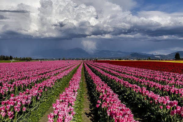 Photograph - Tulips Before The Storm by Teri Virbickis