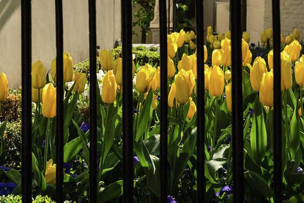 Photograph - Tulips Behind Bars by Georgia Mizuleva
