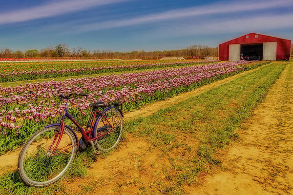 Wall Art - Photograph - Tulips, Bicycle And Barn by Susan Candelario
