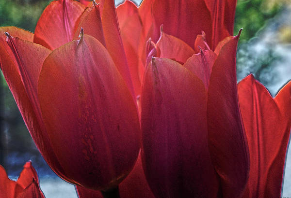 Digital Art - Tulips by Charles Muhle