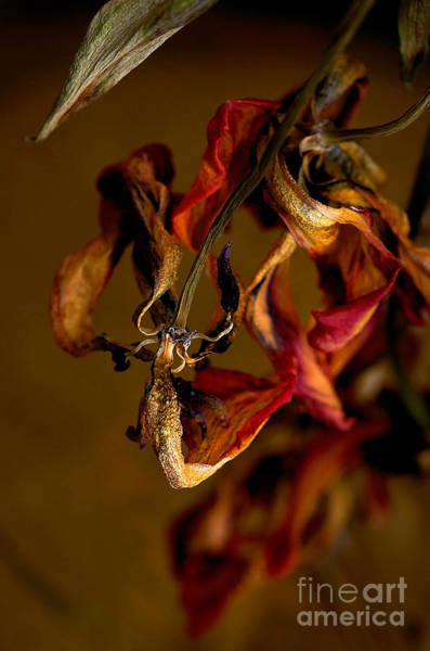 Photograph - Tulip's Demise - A Natural Abstract by Lois Bryan