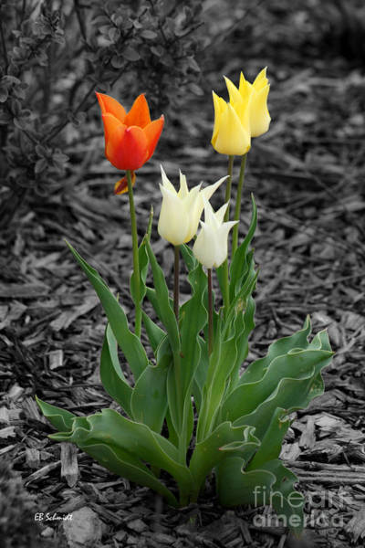 Photograph - Tulips by E B Schmidt