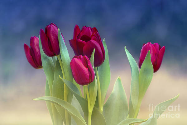 Photograph - Tulips For Spring by Rima Biswas