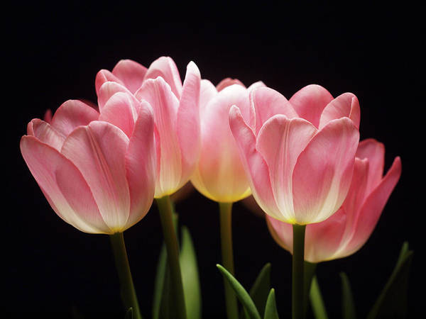 Wall Art - Photograph - Tulips For Tania by Laurie Stewart