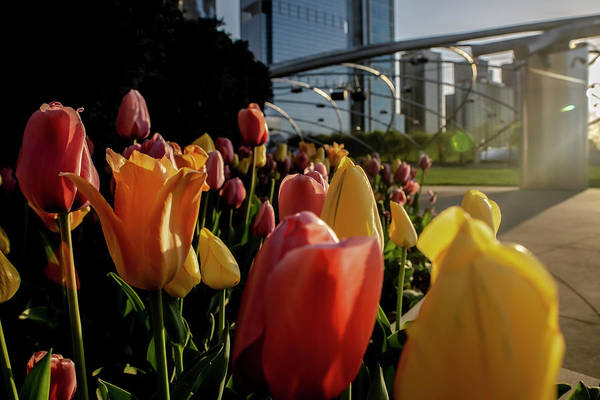 Photograph - Tulips In Chicago's Millenium Park by Sven Brogren