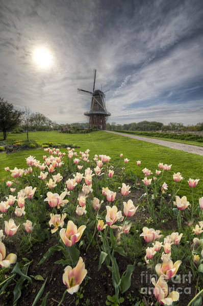 Tulips In Holland Art Print