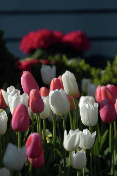 Wall Art - Photograph - Tulips In Pink And White by Alynne Landers
