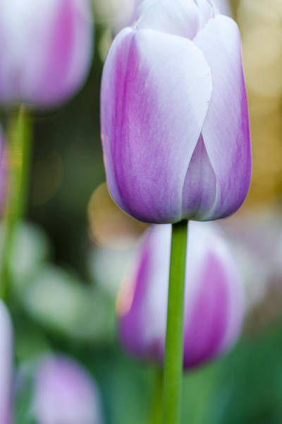 Photograph - Tulips In Pink And White by Teri Virbickis