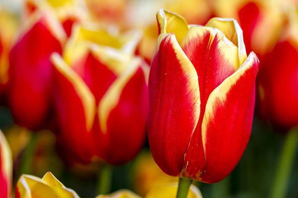 Photograph - Tulips In The Field by Teri Virbickis