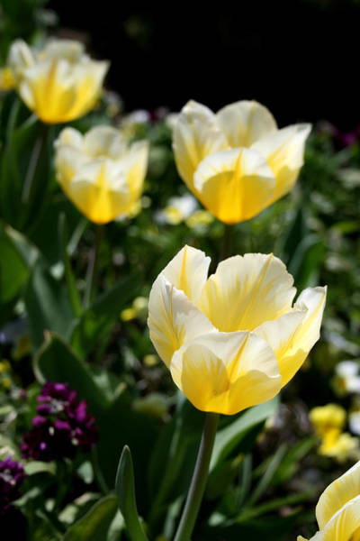 Photograph - Tulips by Laura Kinker