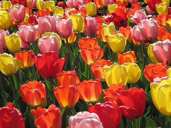 Tulips Like Sunlight Art Print