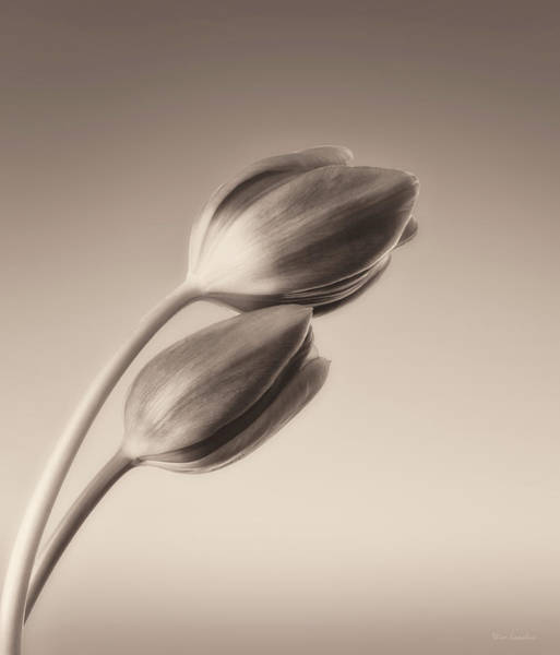 Wall Art - Photograph - Tulips Monochrome by Wim Lanclus
