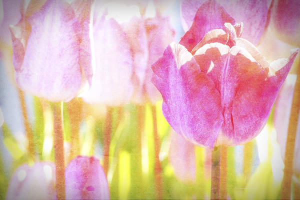 Wall Art - Photograph - Tulips On Parade No1 by Bonnie Bruno