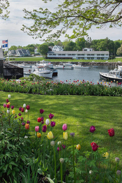 Wall Art - Photograph - Tulips On Perkins Cove by Joseph Smith