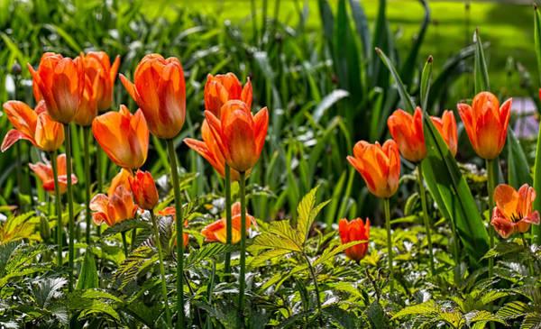 Photograph - Tulips Orange by Leif Sohlman