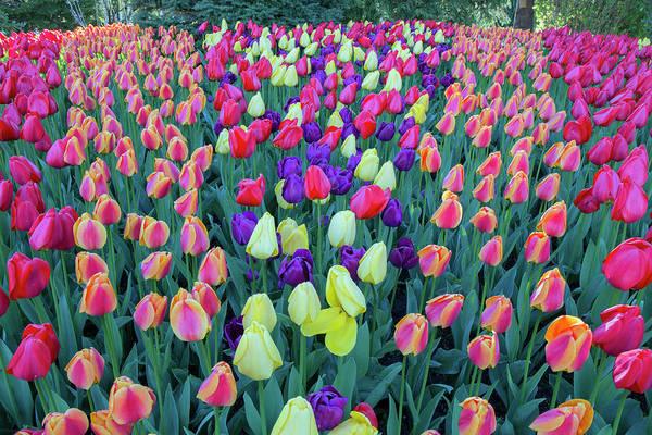 Wall Art - Photograph - Tulips by Paul Fell