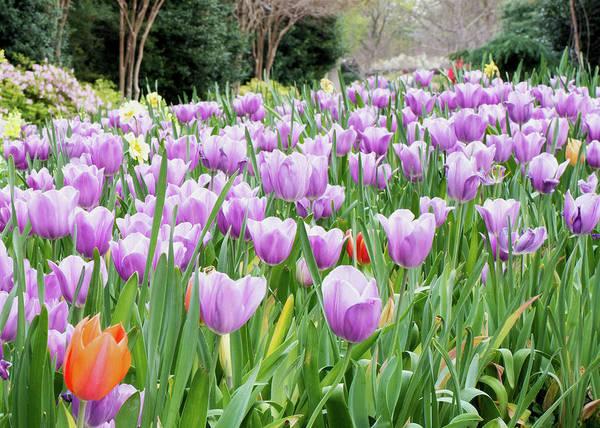 Photograph - Dallas Arboretum Violet Tulips 030917 by Rospotte Photography