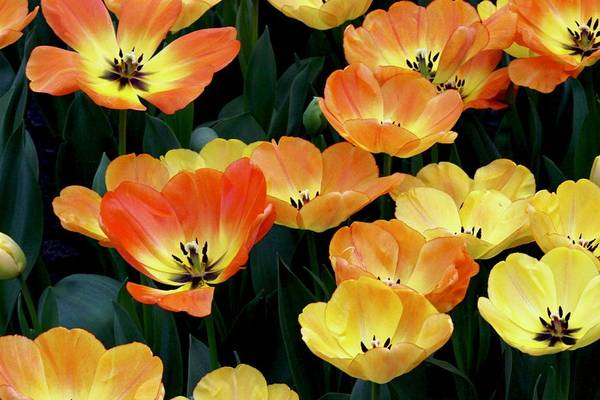Photograph - Tulips by Sarah Lilja