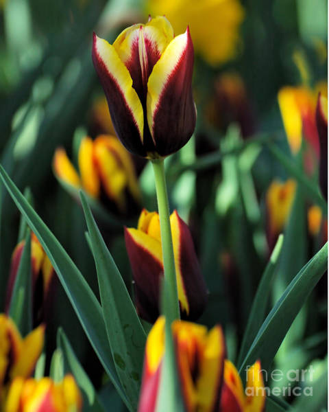 Wall Art - Photograph - Tulips Series 16 by Edward Sobuta