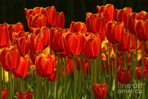 Ceca Wall Art - Photograph - Tulips by Svetlana Peric