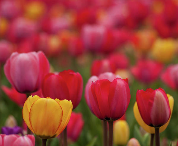 Photograph - Tulips Tulips Tulips by Stewart Helberg