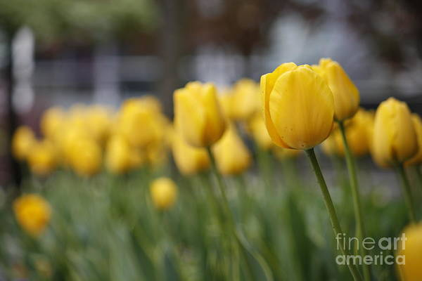 Photograph - Tulips by Wilko Van de Kamp