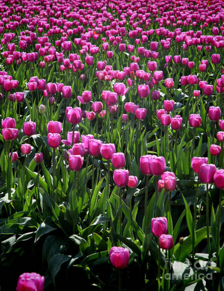 Wall Art - Photograph - Purple Tulips by Peter Simmons