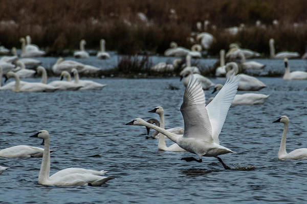 Photograph - Tundra Swan And Liftoff Head Start by Donald Brown