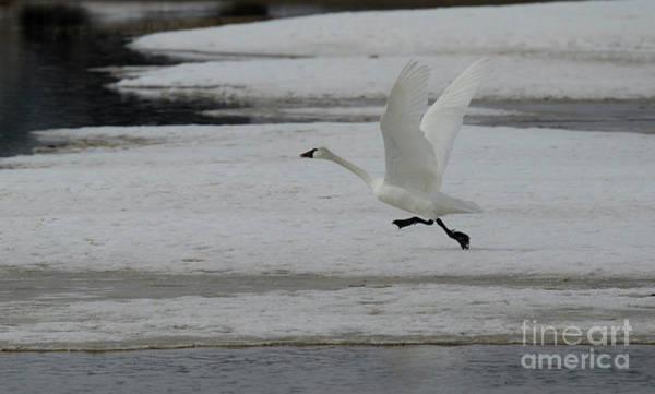 Wall Art - Photograph - Trumpeter Swan Taking Flight by Bob Christopher