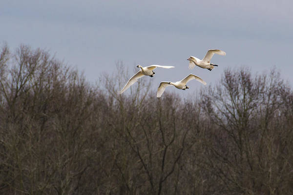 Photograph - Tundra Swan Trio by Donald Brown