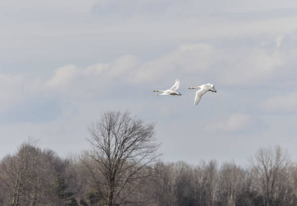 Wall Art - Photograph - Tundra Swans 1-2015 by Thomas Young