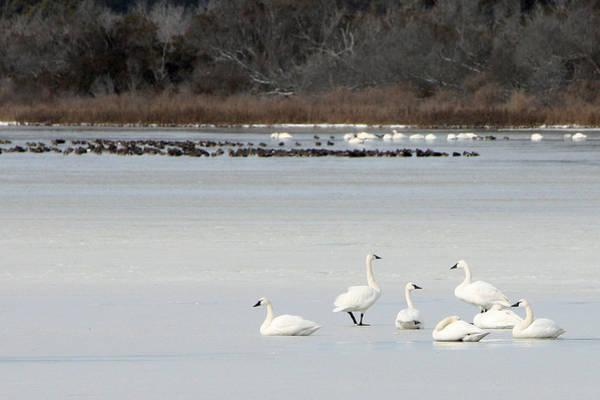 Tundra Swans 1 Art Print