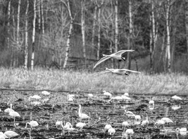 Wall Art - Photograph - Tundra Swans 2016-1 by Thomas Young