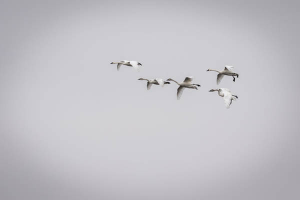 Wall Art - Photograph - Tundra Swans 2016-2 by Thomas Young