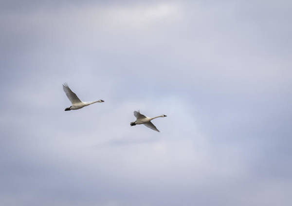 Wall Art - Photograph - Tundra Swans 2016-3 by Thomas Young