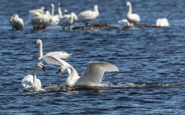 Wall Art - Photograph - Tundra Swans 2018-1 by Thomas Young