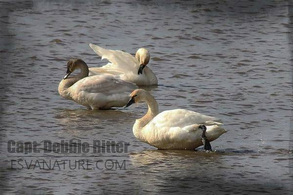 Photograph - Tundra Swans 2955 by Captain Debbie Ritter