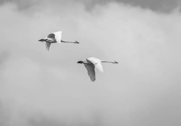 Wall Art - Photograph - Tundra Swans 3-2015 by Thomas Young