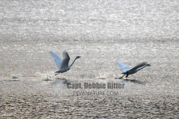 Wall Art - Photograph - Tundra Swans 5185 by Captain Debbie Ritter