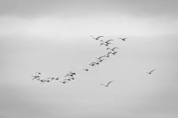 Wall Art - Photograph - Tundra Swans 6-2015 by Thomas Young