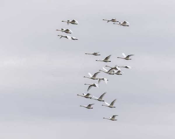 Wall Art - Photograph - Tundra Swans 7-2015 by Thomas Young