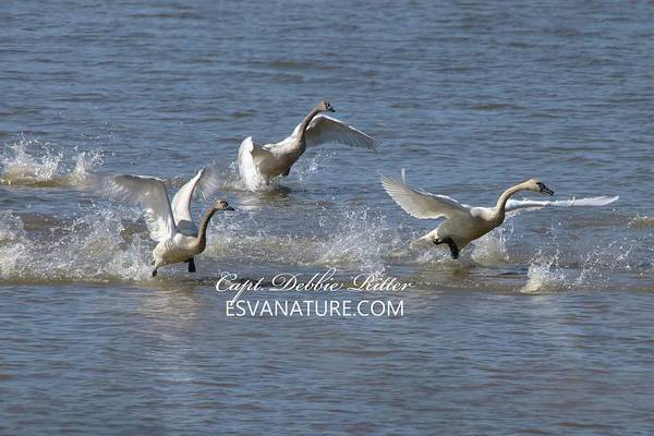 Photograph - Tundra Swans 9264 by Captain Debbie Ritter