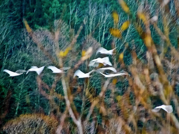 Photograph - Tundra Swans by Albert Seger