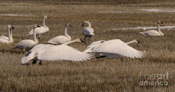 Wall Art - Photograph - Trumpeter Swans Alberta Canada 2 by Bob Christopher